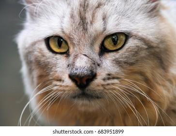 Eye Mustache of grey Cats