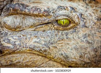 Eye of the Nile crocodile closeup