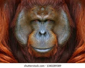 Eye to eye with orangutan.