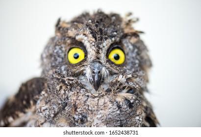 eye Owl Glaucidium bird.beautiful  Eagle Owl.Head of an owl
