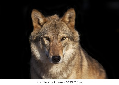 Eye to eye portrait with grey wolf female on black background. Horizontal image. Beautiful and dangerous beast of the forest