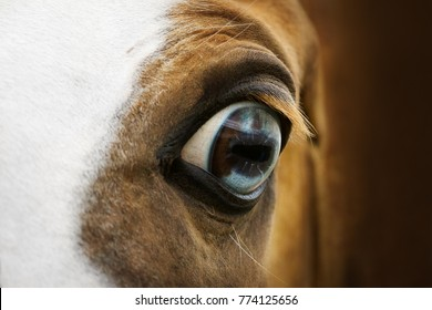 Eye of red horse closeup