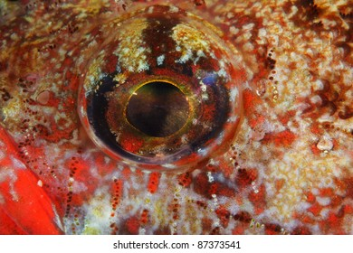 Eye of a Red Mouth Goby (Gobius cruentatus) in Berlengas, Portugal