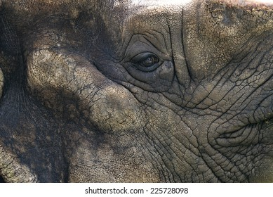 Eye Rhino in foreground