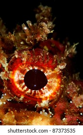 Eye of a Scorpion Fish (Scorpaena porcus) in Portimão, Algarve, Portugal