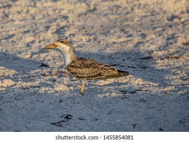 Eye of Skimmer Chick on Indian Rocks Beach, Florida