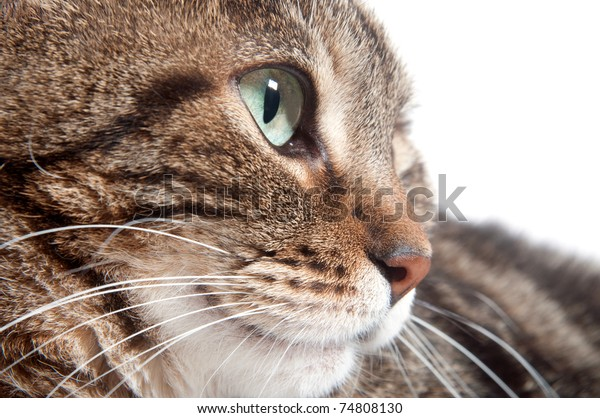 Eye of a tabby cat with white background