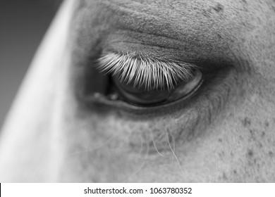 eye of white horse close-up