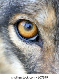 Eye of young wolf at Great Cats Preserve, Indiana