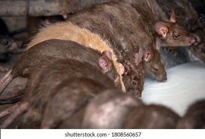 Eye-catching red rat among gray rats drinks milk from a bowl.