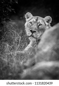 The eyes of a Asiatic lion, black and white photo