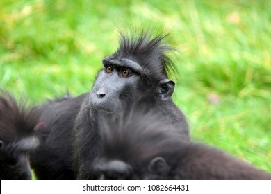 Eyes of a black crested macaque monkey