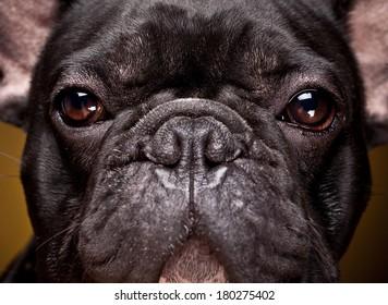 Eyes of black french bulldog  on dark yellow background. Portrait of male bulldog in photostudio.
