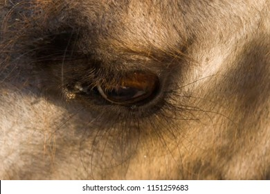 Eyes of camel. Close-up, macro photo. Used informally, camel or, more correctly, camelid refers to any of the seven members of the family Camelidae, the dromedary.