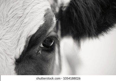 Eyes of cow and the fly, close-up.