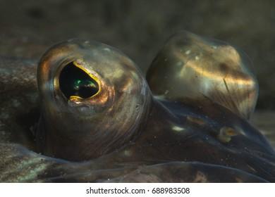 Eyes of a Flounder fish