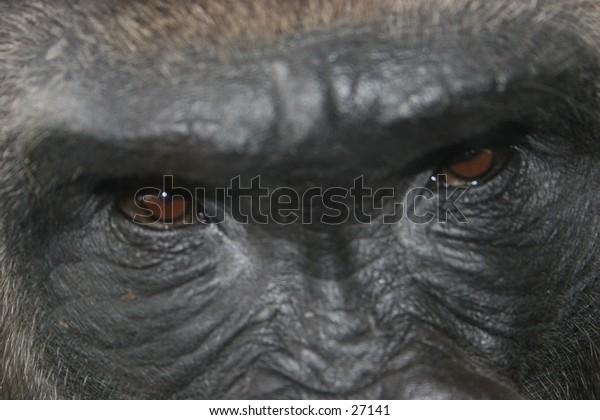 Eyes of the gorilla. Closeup shot.