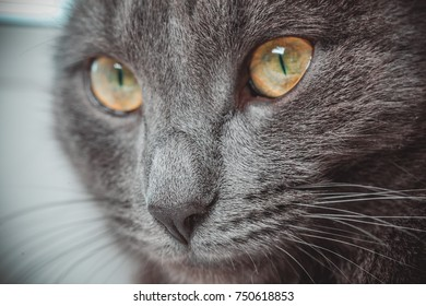 Eyes gray cat close-up. The cat turned its gaze into the distance