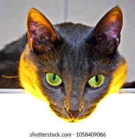 Eyes of a grey cat