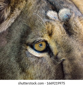 Eyes of a Lion is one of the four big cats in the genus Panthera, and a member of the family Felidae.