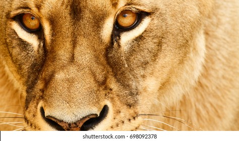 Eyes of lioness.
