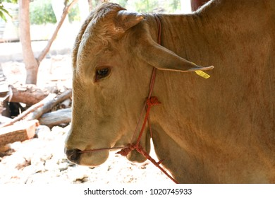 The eyes of the loneliness of a cow.