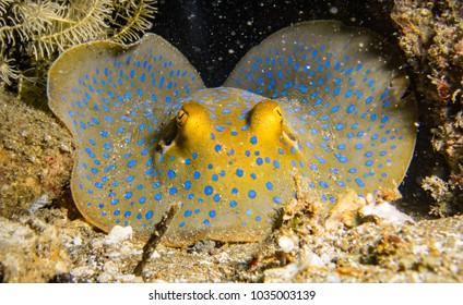 Eyes of a mimic octopus