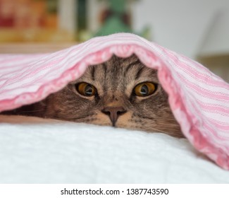 The eyes, nose and whiskers of a British Shorthair cat are visible as it peeks from beneath a pink and white striped quilt. It has what appears to be a mischievous expression on its face.