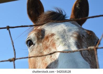 eyes pinto horse