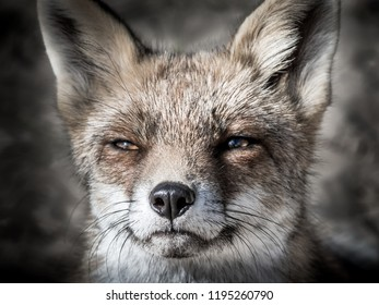 Eyes of a red fox