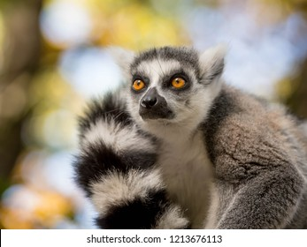 The eyes of a ring-tailed lemur (Lemur catta) looking around, soft background
