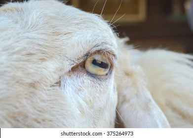 The eyes of sheep.