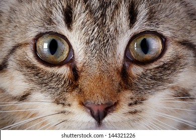 Eyes of a striped kitten. Muzzle of a gray striped kitten. Striped Small kitten. Muzzle of a gray striped kitten. Striped not purebred kitten. Kitten on a white background. Small predator. Small cat.