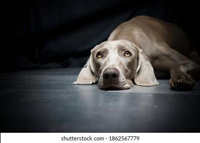 The eyes of a weimaraner dog