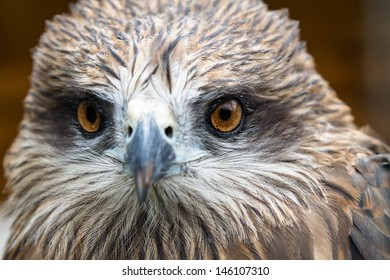 Eyes of the young hawk. Nature background