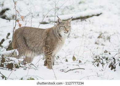 eyoung urasian lynx  in winter