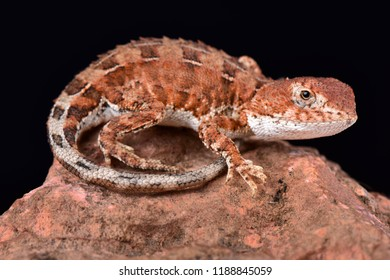 The Eyrean earless dragon (Tympanocryptis tetraporophora)  is a ground dwelling dragon inhabiting semi arid regions of central  Australia, the Northern Territory and Queensland, Australia.