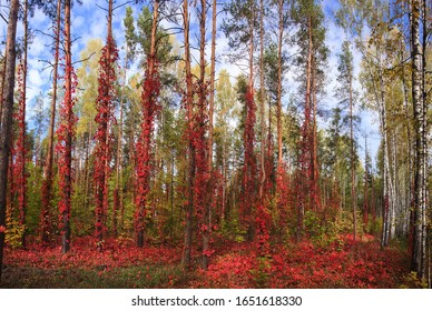 Fabulous forest with red vines, landscape Russian