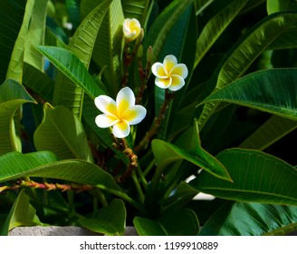 Fabulous fragrant  pure  white scented blooms  with yellow centers of exotic tropical  frangipanni species plumeria plumeria  flowering in autumn adds fragrant charm to an urban street scape.