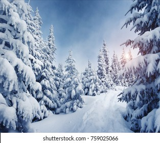 Fabulous frozen fir trees. Frosty day on ski resort. Location Carpathian, Ukraine, Europe. Great picture of wild area. Explore the beauty of earth. Scenic image of hiking concept. Happy New Year!