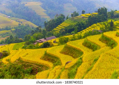 Fabulous golden terraced rice fields in harvest season, in Hoang Su Phi District (Ha Giang Province, Northeast Vietnam).