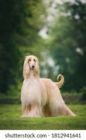 Fabulous looking afghan hound, royal dog in full coat. Many championships winner.