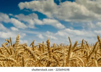 fabulous summer Golden wheat field