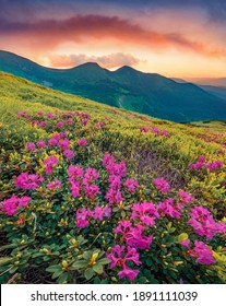 Fabulous summer scenery. Blooming pink rhododendron flowers on the Carpathians hills. Amazing summer sunset on Carpathian mountains with Homula mount on background, Ukraine, Europe.