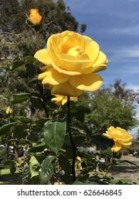 Fabulous Yellow Rose Bloom