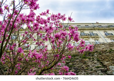Facade of beautiful building behind pink magnolia flowers in Paris, France