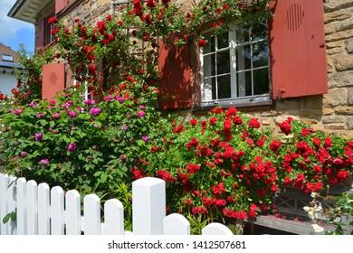 Facade Greenery of Rosebushes in Front of an older Villa built of Sandstone