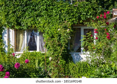 facade of an old rustic cozy house with two Windows is completely entwined with decorative maiden grapes, red climbing rose bushes grow nearby