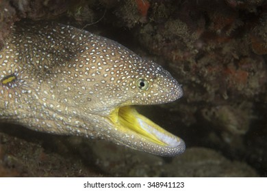 Face of an adult yellow mouth moray eel (Gymnothorax nudivomer) tropical fish with a dark background taken while scuba diving in tourist destination of the coastal Musandam area of Oman, Arabia.