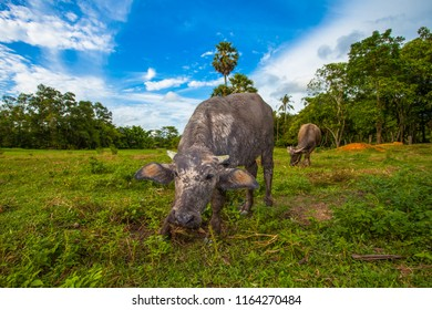 face of baby buffalo in the field while eatting grasss in the green field in the blue sky day